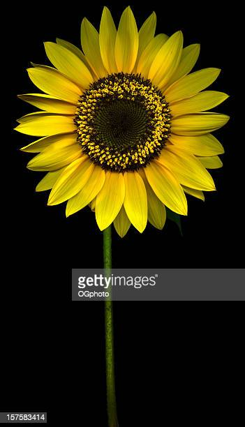 yellow sunflower against a black background - ogphoto stock pictures, royalty-free photos & images