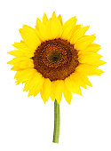 yellow sunflower isolated white background with