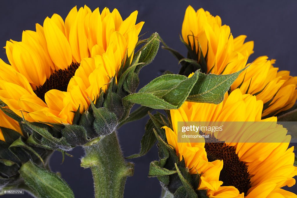 Yellow sunflower on against a rustic background : Photo