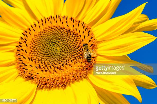 A yellow sunflower with a honeybee against blue sky