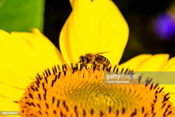 A yellow sunflower with a honeybee