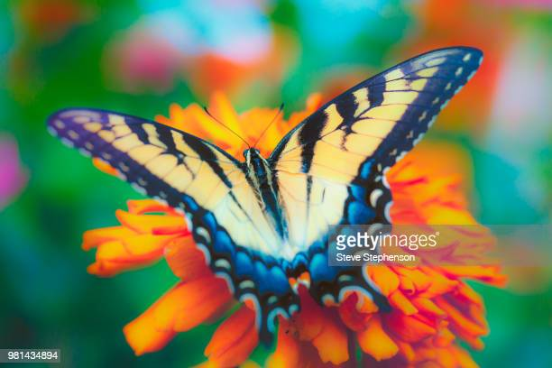 yellow swallowtail butterfly on flower - swallowtail butterfly stock pictures, royalty-free photos & images