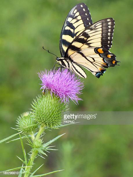 yellow swallowtail butterfly sitting on a purple thistle - swallowtail butterfly stock pictures, royalty-free photos & images