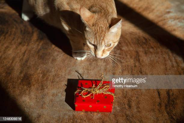 a yellow tabby cat on a cowhide rug, cautiously approaches a wrapped gift - timothy hearsum stock pictures, royalty-free photos & images