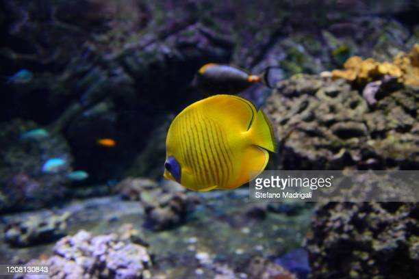 yellow tail surgeon fish in a marine coral reef aquarium genoa - reef stock pictures, royalty-free photos & images