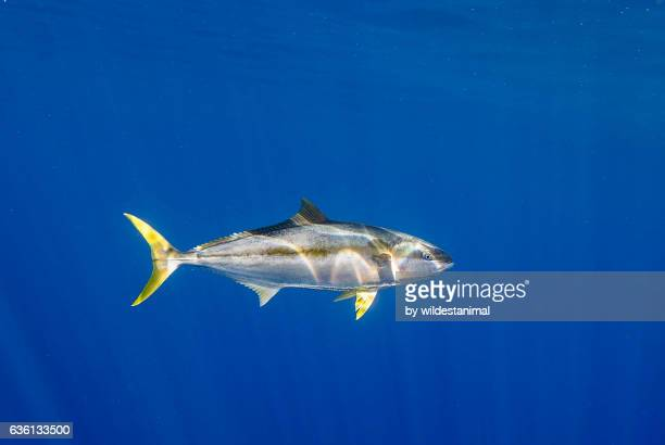yellow tail tuna - yellowfin tuna stock photos and pictures