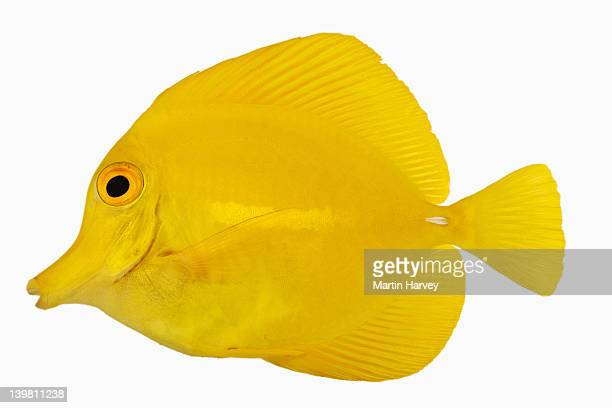yellow tang fish (zebrasoma flavescens). also known as yellow hawaiian tang, yellow sailfin tang or yellow surgeonfish. herbivorous tropical marine reef fish. dist. central and south pacific. studio shot against white background. - poissons exotiques photos et images de collection