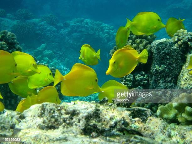 Gelbe tang Fisch