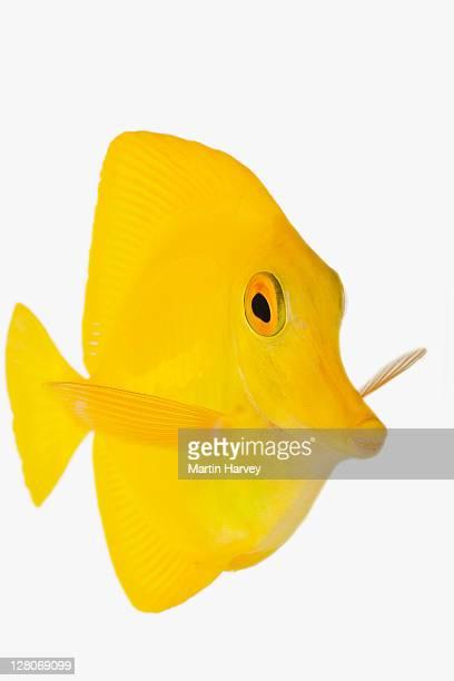 yellow tang fish (zebrasoma flavescens) studio shot against white background - poissons exotiques photos et images de collection