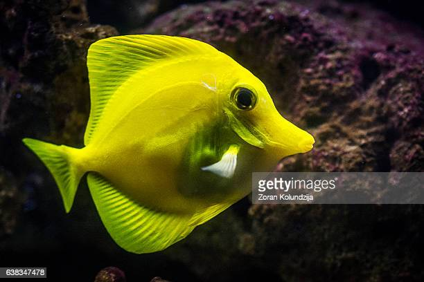 Yellow tang - saltwater tropical fish