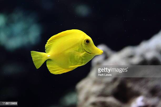 Yellow tang tropical fish with coral backdrop