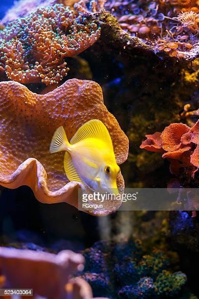yellow tang 'zebrasoma flavescens'