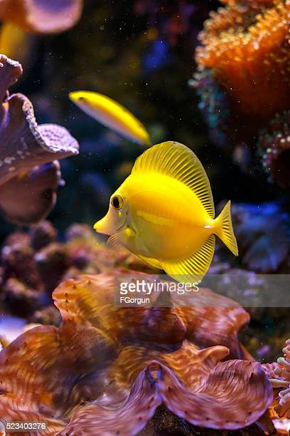 yellow tang 'zebrasoma flavescens'
