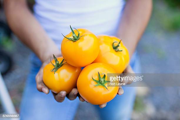 Yellow tomatoes in girl's hands