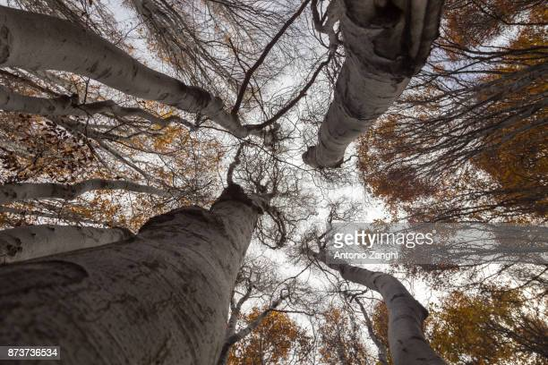 Yellow trees view from bottom - Beechwood Timparossa, Etna Park - Catania, Sicily