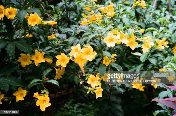 Yellow trumpet flower stock photos and pictures getty images yellow trumpet flower tecoma stans outdoor mightylinksfo
