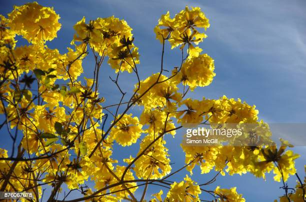 yellow trumpet tree (handroanthus chrysotrichus, synonym tabebuia chrysotricha) in bloom - ハンドロアンサス属 ストックフォトと画像