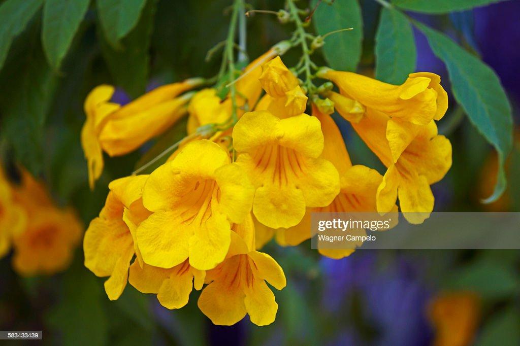 Yellow trumpetbush : Stock Photo