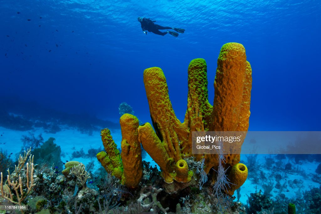 Yellow tube sponge and diver : Stock Photo
