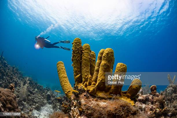 yellow tube sponge and diver - cnidarian stock pictures, royalty-free photos & images