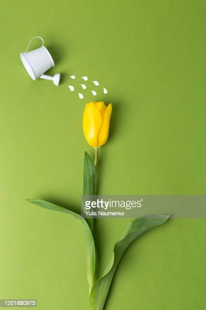 yellow tulip and toy watering can water a tulip on a plain background. spring and holiday concept. spring greeting card happy mother day. flat lay, copy space. - march month stock pictures, royalty-free photos & images