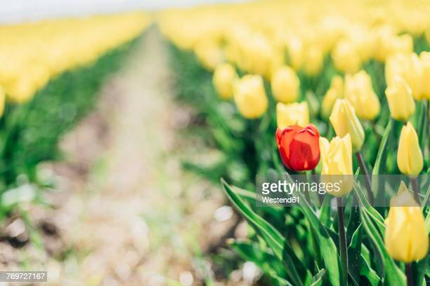 Yellow tulip field with a red one