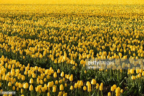 yellow tulip field with raindrops - ignatius tan stock photos and pictures