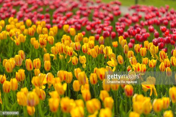Yellow tulip flower and red tulip flower in the garden with tulip background pattern.