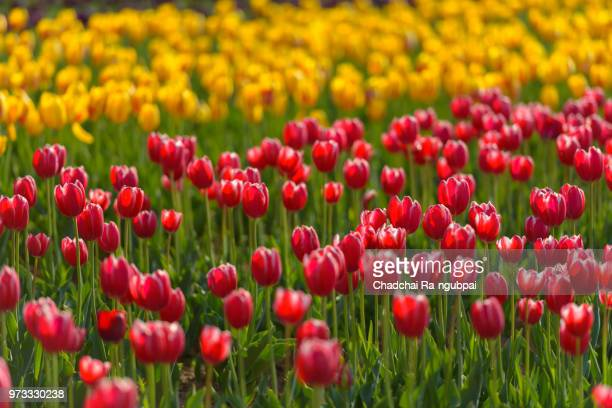 yellow tulip flower and red tulip flower in the garden with tulip background pattern. - mandalas india stock pictures, royalty-free photos & images