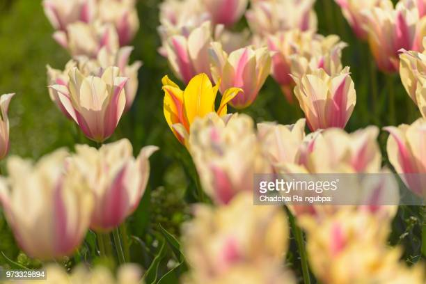 Yellow tulip flower and white tulip flower in the garden with tulip background pattern.