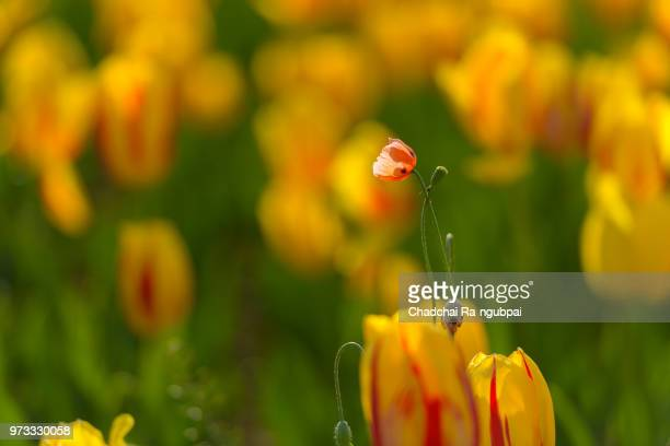 Yellow tulip flower in the garden with tulip background pattern.
