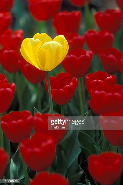 Yellow tulip in a sea of red