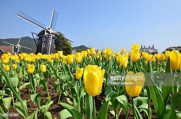 Yellow tulips and Windmills with blue sky