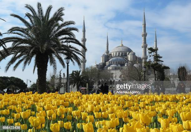 Yellow tulips are seen near Sultan Ahmed Mosque in Istanbul Turkey on April 9 2017 Tulips which gave a name to an era in the 18th century ornament...