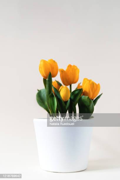 yellow tulips in white flower pot. - pot plant stock pictures, royalty-free photos & images