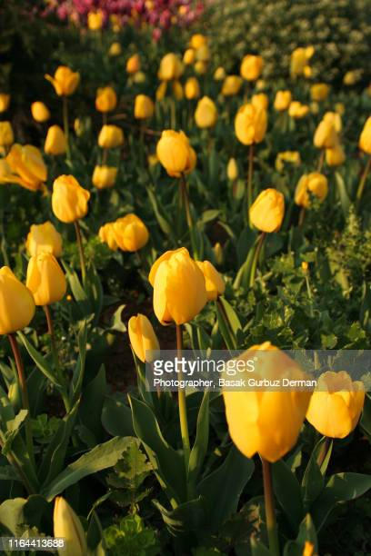yellow tulips - basak gurbuz derman stock photos and pictures