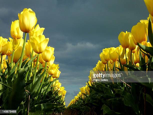 yellow tulips - frans sellies stock pictures, royalty-free photos & images