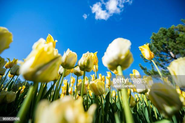 yellow tulips - lehi stock photos and pictures
