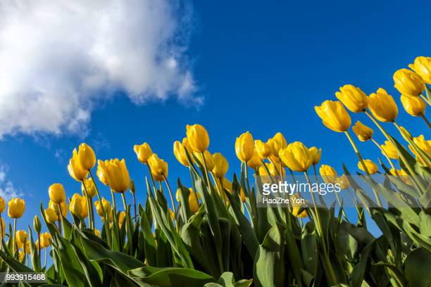 yellow tulips - tulip stock pictures, royalty-free photos & images