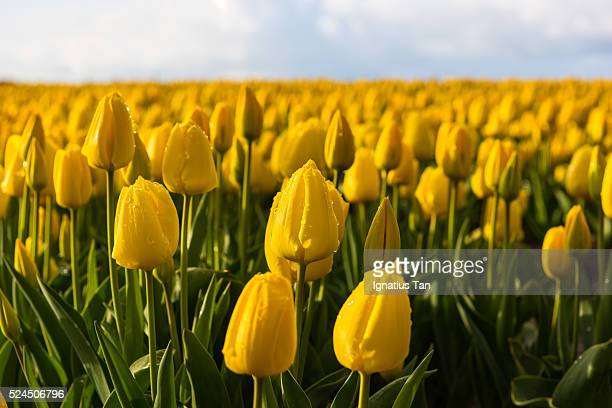 yellow tulips with raindrops - ignatius tan stock photos and pictures
