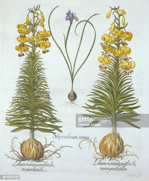 Yellow Turkscap Lily with bulb and Dwarf BlueEyed Grass from 'Hortus Eystettensis' by Basil Besl I Sisyrinchium minus II Lilium montanum flore luteo...