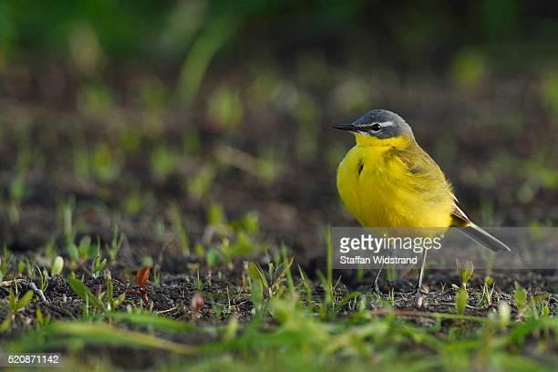 yellow wagtail, motacilla flava - セキレイ ストックフォトと画像
