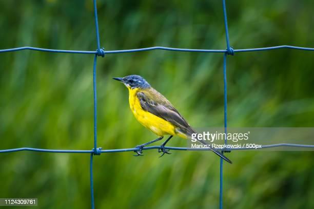 yellow wagtail - セキレイ ストックフォトと画像