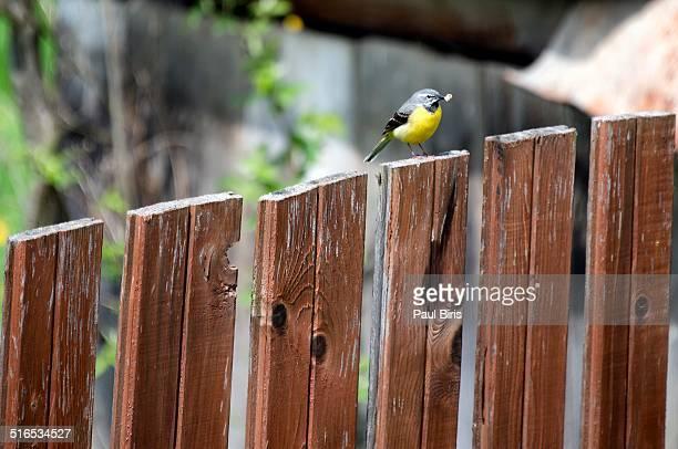 yellow wagtail (motacilla flava) - セキレイ ストックフォトと画像