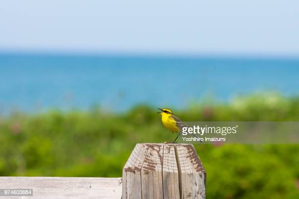 yellow wagtail - birdsong stock pictures, royalty-free photos & images