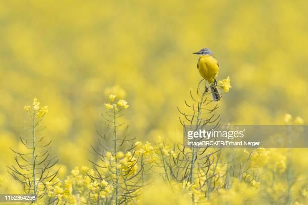 yellow wagtail (motacilla flava) sits on rape blossom in rape field, emsland, lower saxony, germany - セキレイ ストックフォトと画像