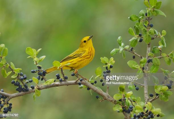 yellow warbler (dendroica petechia), adult male perched on elbow bush (forestiera pubescens) with berries, hill country, texas, usa - warbler stock pictures, royalty-free photos & images