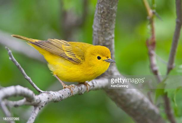 yellow warbler bird - yellow perch stock photos and pictures