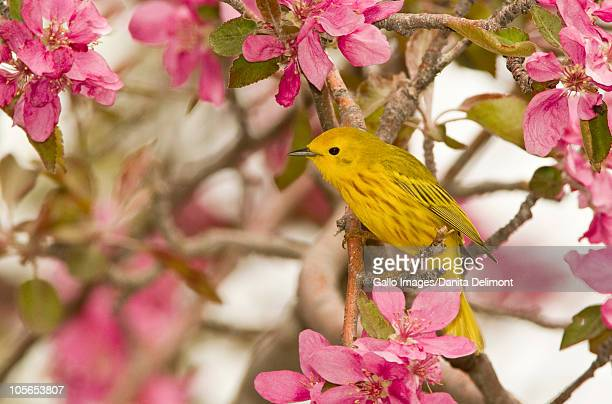 Yellow Warbler (Dendroica petechia), Malheur National Wildlife Refuge, Oregon, USA