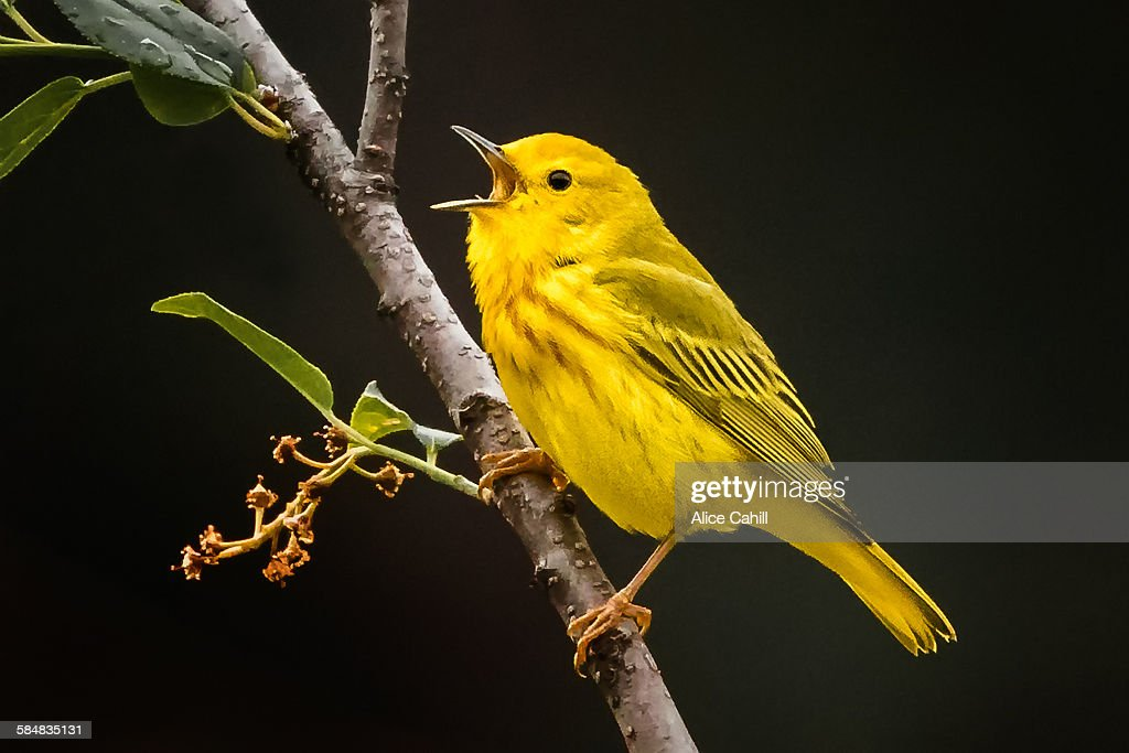 Yellow Warbler on a branch with beak open singing : Stock Photo
